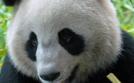 Un panda surpris